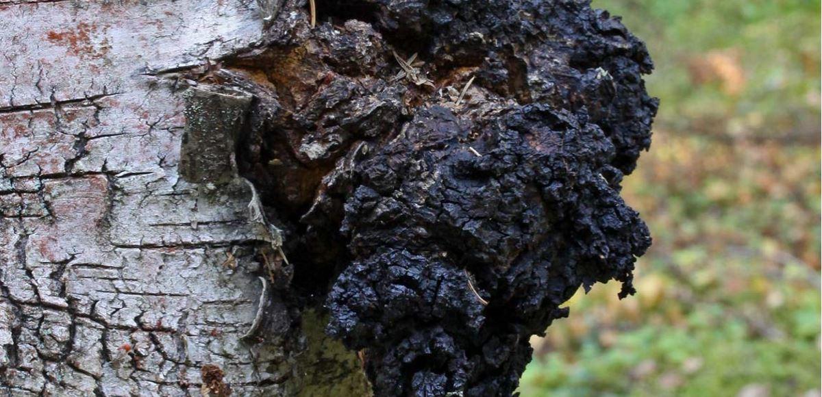 гриб чага на берёзе